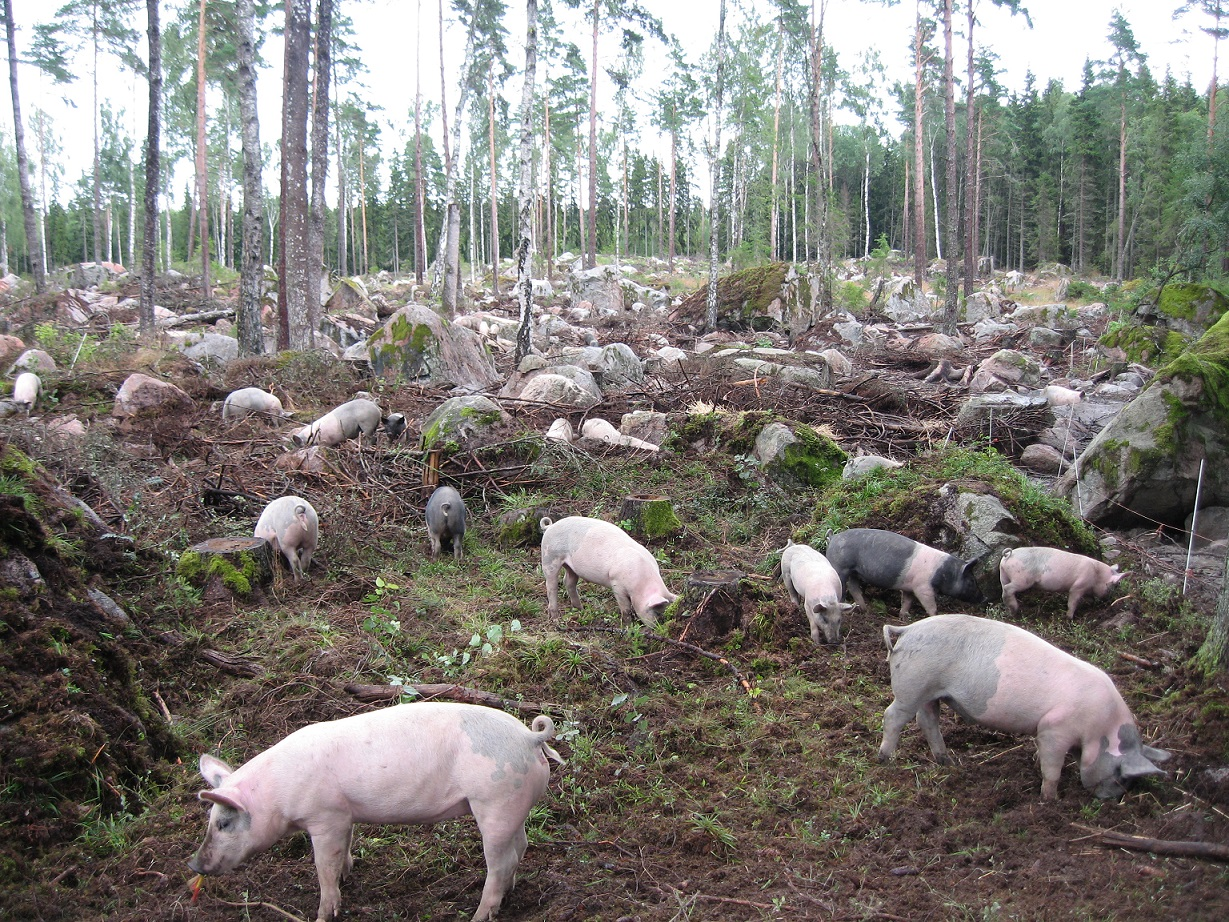 Hansta-new-picture-pigs-in-the-forest-v2