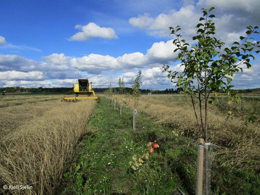 Agroforestry-2_Kjell-Sjelin